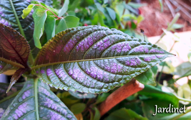 Planta Escudo-persa - Strobilanthes dyerianus