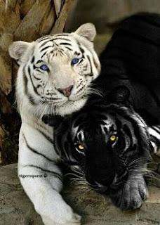 """Tigre-branco com um """"Tigre-negro"""" A maioria dos mamíferos negros se deve a uma mutação genética, que interfere na coloração dos pelos. De forma natural, são raros esses acontecimento, no entanto, exemplares de tigres com mutações estão sendo cada vez mais comuns devido ao cruzamento, em cativeiro, entre um mesmo grupo de indivíduo geneticamente semelhantes devido à proximidade de parentesco."""