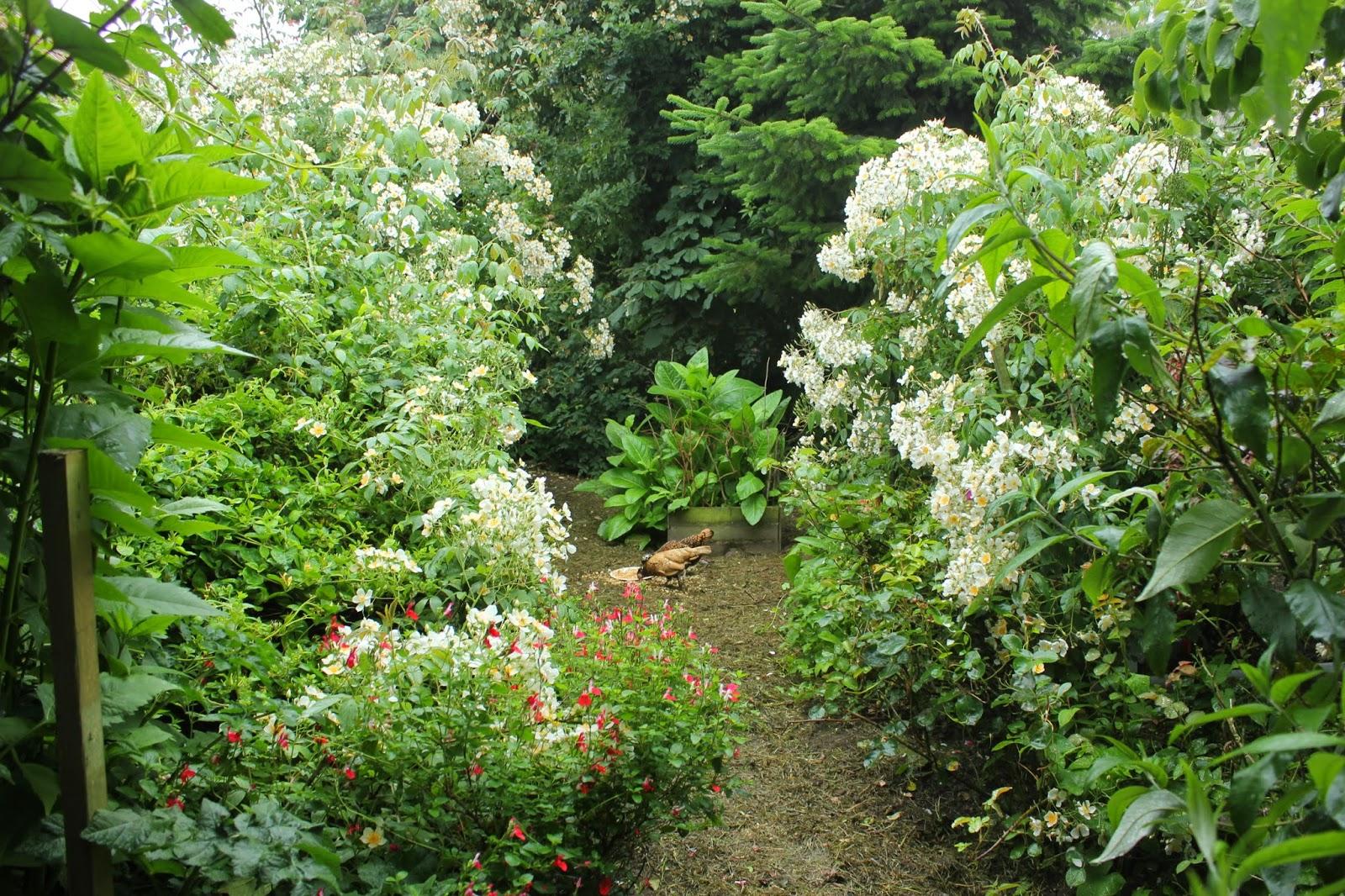 Roses Sir Cedric Morris and filipes 'Kiftsgate'