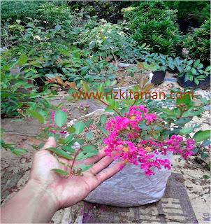 Jual sakura jepang (Prunus Cerasoides) | (Cherry Blossom) | suplier tanaman | tanaman bunga | tanaman hias