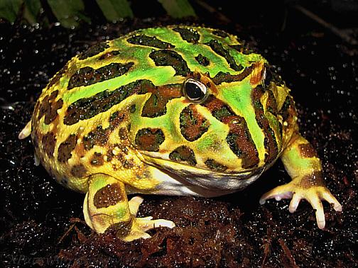 Pet frogs species - photo#54