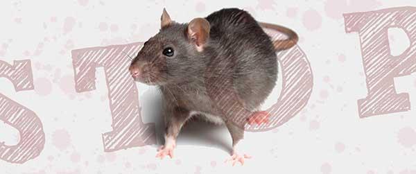 Tips Jitu Mengusir Tikus dі Rumah