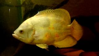 Mengenal jenis ikan hias oscar albino