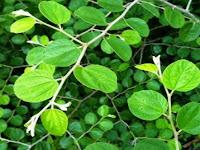 Pohon Bidara, Manfaatnya Dari Ujung Daun Sampai Ujung Akar