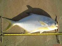 Foto de um peixe pampo na areia da praia