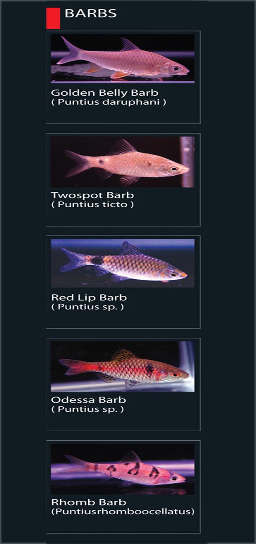 Jenis Ikan Barb