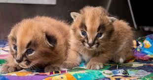 kucing caracal kucing paling eksotis di dunia-5