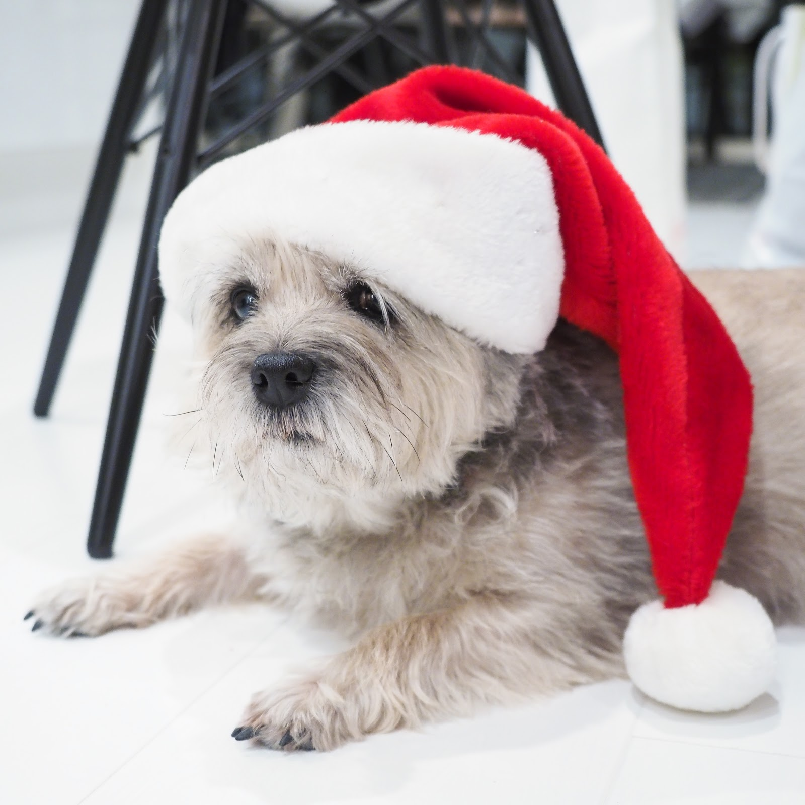 joulu, koira