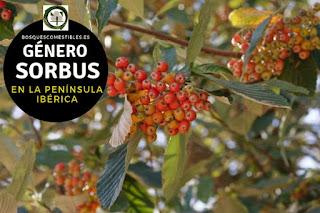 El género Sorbus, familia Rosaceae. Son arboles o arbustos caducifolios, de hoja compuestas,