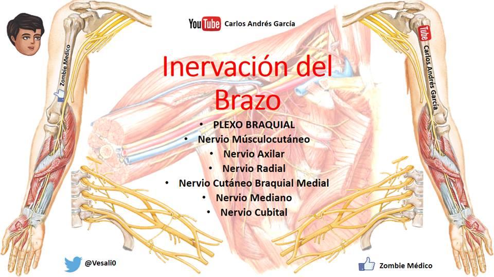 Inervación del brazo | iinmed