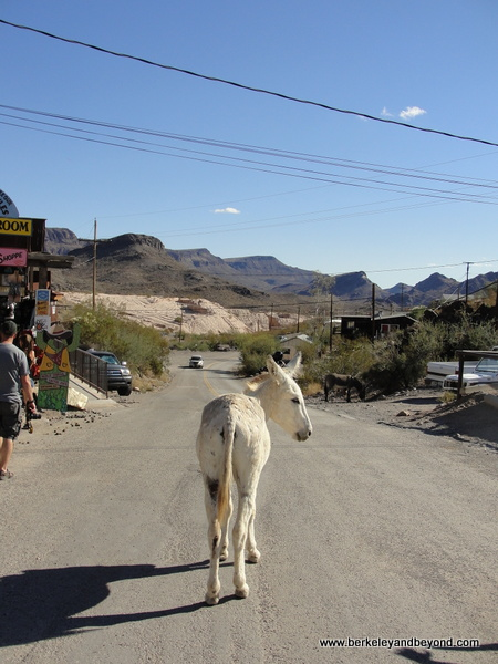 adult burro in Gold Rush town of Oatman, Artizona