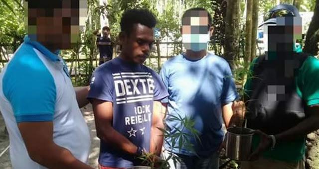 BNN Jayapura Tangkap Penanam dan Pengedar Ganja di Sabron