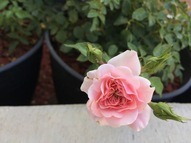 Pink rose in bloom // www.thejoyblog.net