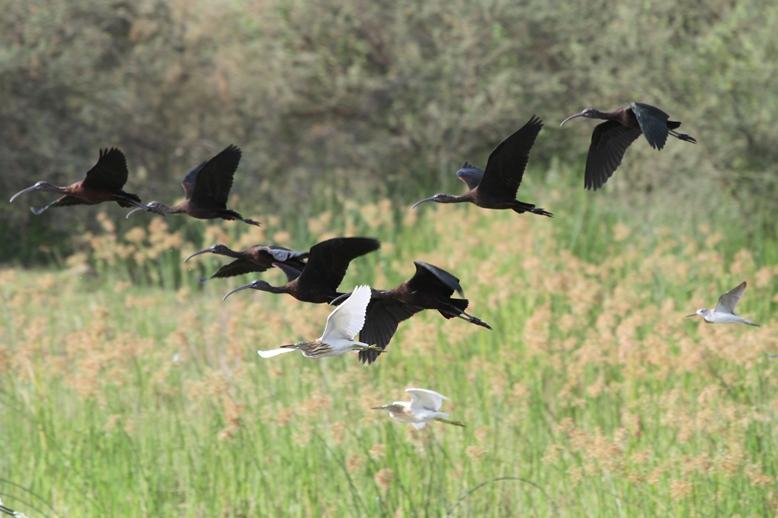 The heron family near Jizan