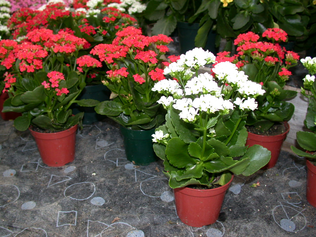 Kalanchoe Plant Care Indoors