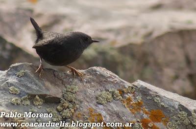 """alt=""""churrin andino,tapaculo,aves de Mendoza"""""""