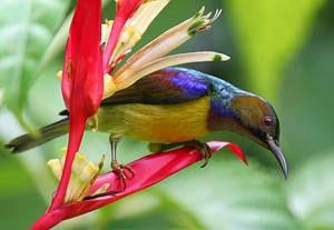 gambar kolibri kelapa
