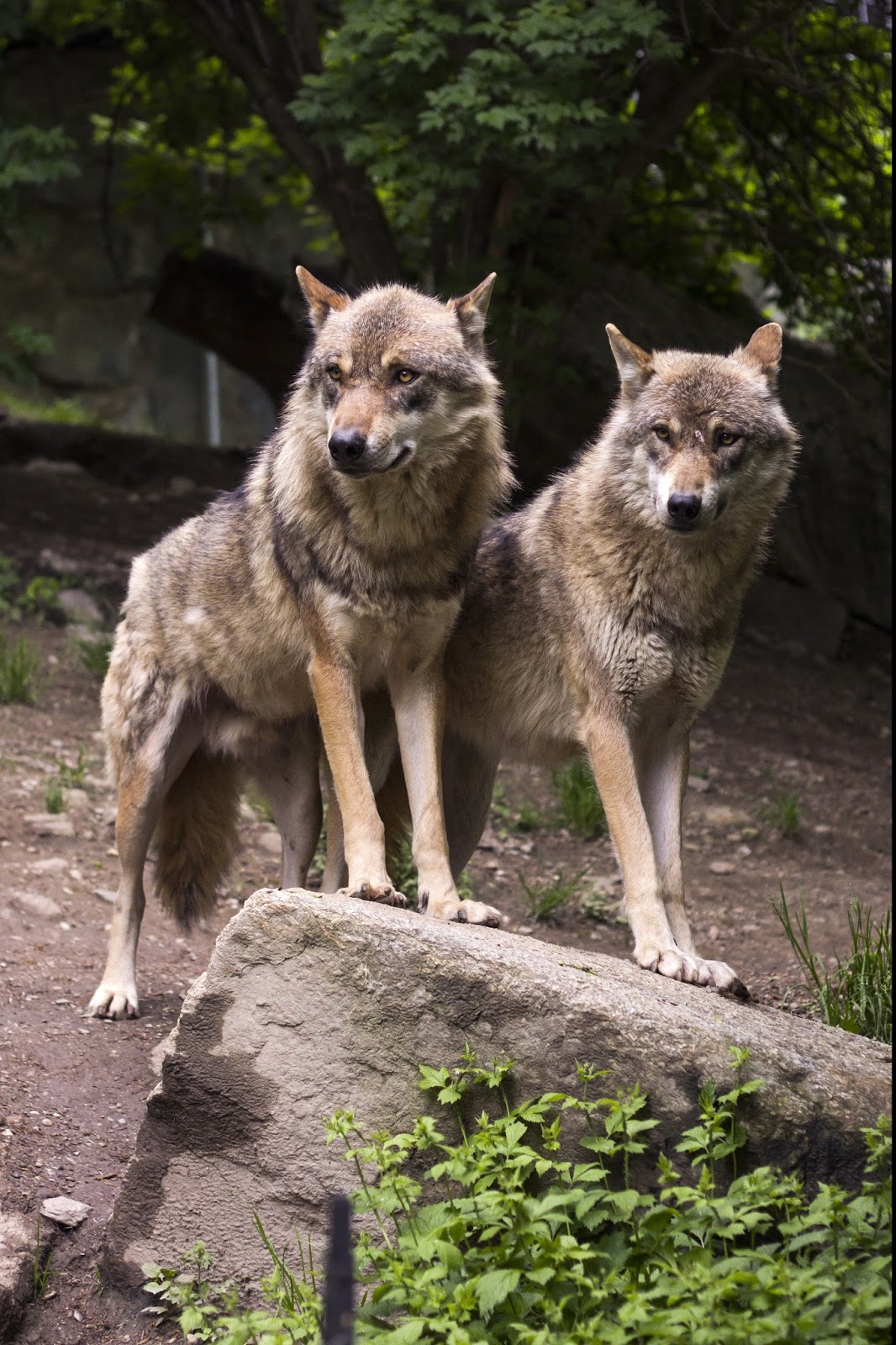 Picture of wolves.