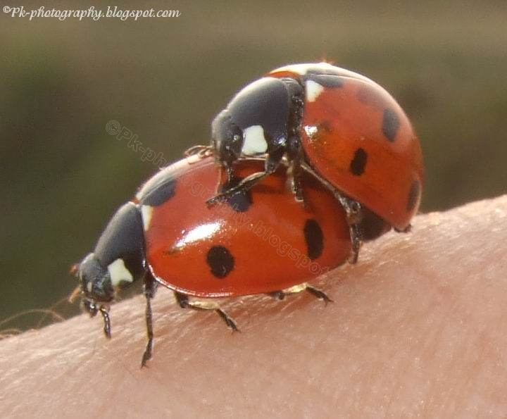 Ladybugs Mating | Nature, Cultural, and Travel Photography ...