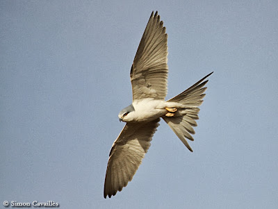 Scissor tailed Kite
