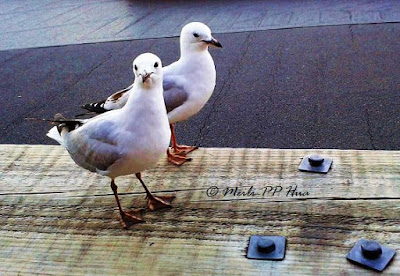 http://www.photographypassions.xyz/2016/04/seagulls-study.html