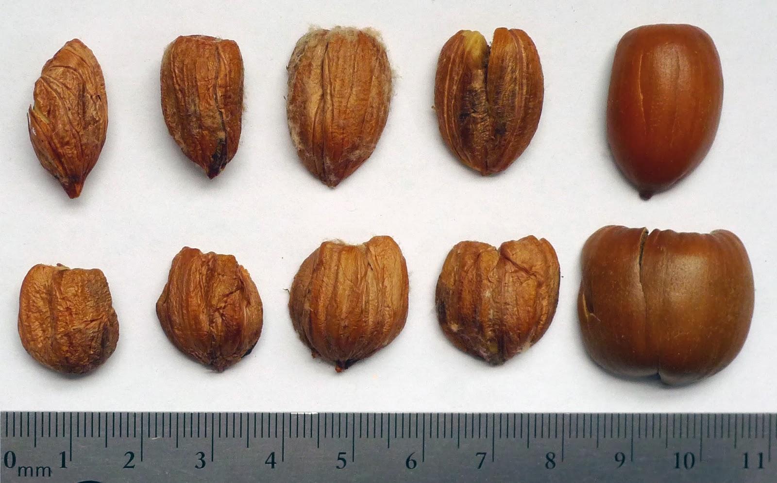 Wild harvests percolation leaching red oak acorns