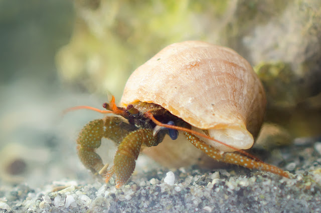 hermit crab with new blue leg