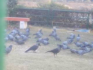 Pigeons and Crow Bird