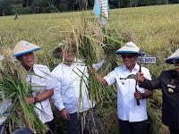 Bupati dan Wakil Bupati Mamuju Tengah Panen Padi Bersama Masyarakat Desa Polo Lereng Kec. Pangale