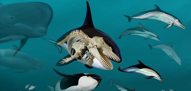 Cetaceos y su esqueleto