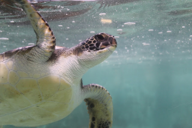Aquarium of the Pacific helping turtles