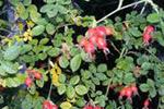 Planta de la rosa mosqueta