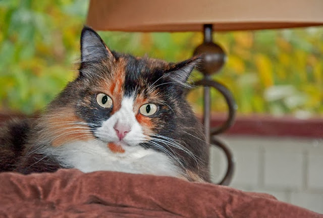 A pretty calico cat sat on a cushion, looking at the camera