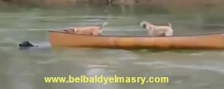 شاهد بالفيديو مواقف مؤثره لحيوانات تحاول انقاذ بعضها من الموت