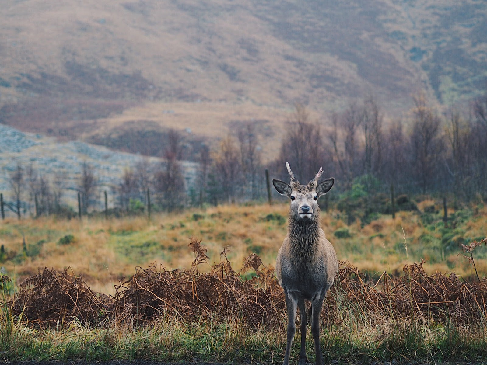 red deer young stag glen etive