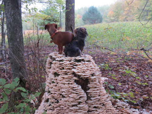 little dogs on a mushroom covered stump