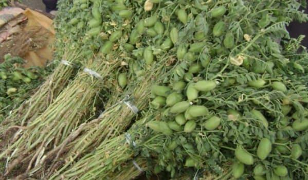 أكثر من 7 آلاف طن إنتاج السويداء من محصول الحمص  للموسم الزراعي الحالي.