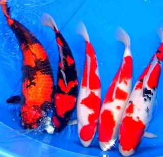 Jenis ikan koi lokal indonesia