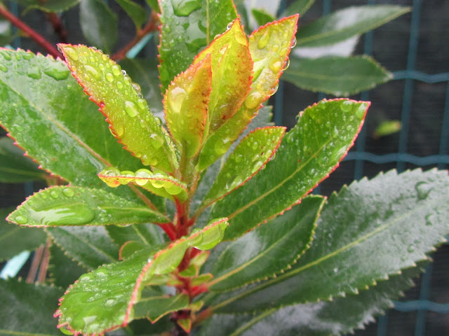 Nuova Vegetazione Arbutus unedo