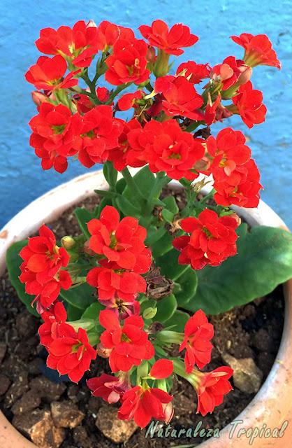 Flores rojas dobles del Kalanchoe blossfeldiana