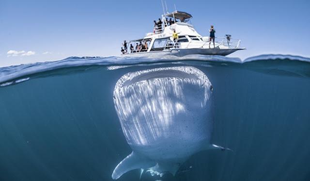 Σοκάρει ο φαλαινοκαρχαρίας κάτω από σκάφος