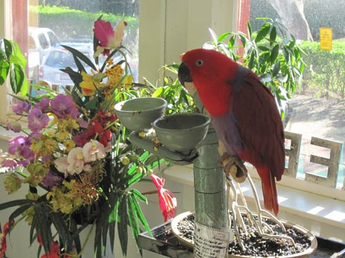 A Female Eclectus Parrot At Dan's Greenhouse.