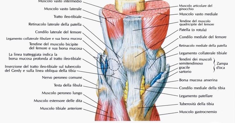 Fisioriab il ginocchio anatomia e biomeccanica for Disegni del portico laterale