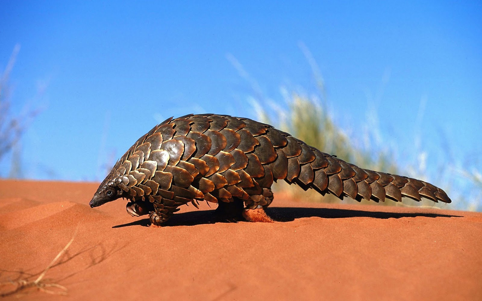 Pangolin Animal Basic Facts Pictures The Wildlife