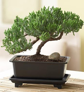 What is The Best Time to Prune a Green Mound Juniper