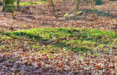 An sonnigen Stellen im Wald zeigt sich Bärlauch als erstes
