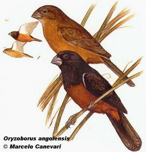 Curió, Sporophila angolensis