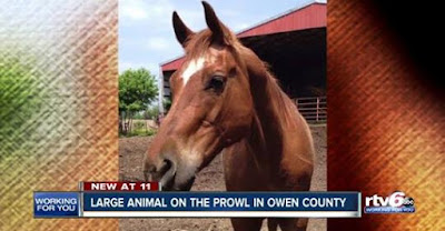 Likely Mountain Lion Attack on Horse in Indiana