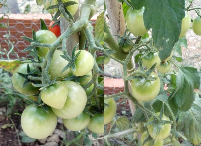 Cultivo ecológico de tomate cherry