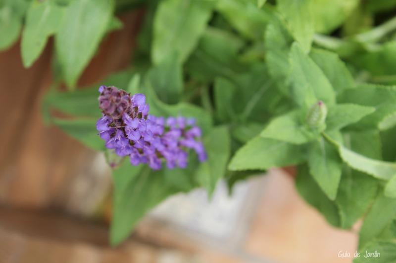 Espiga floral de Salvia nemorosa